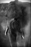 一头非洲大象的画象在黑白照片的 免版税库存图片
