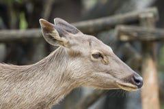 一头顶头鹿的图象 免版税图库摄影