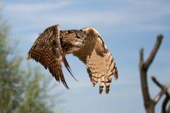 一头飞行猫头鹰在动物园里 免版税库存照片