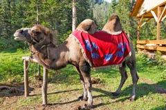 一头骆驼在一个公园在阿尔泰 库存图片