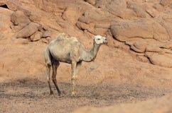 一头骆驼在一片沙漠在埃及 库存照片