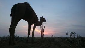 一头骆驼在日落期间的沙漠 库存图片