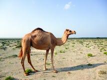 一头骆驼在沙漠 免版税库存照片