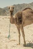 一头骆驼在沙漠 免版税库存图片