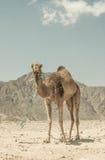 一头骆驼在西奈,埃及沙漠  库存照片