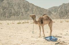 一头骆驼在西奈,埃及沙漠  免版税库存照片