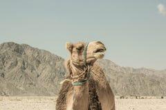 一头骆驼在西奈,埃及沙漠  免版税图库摄影