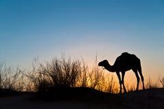 一头骆驼的剪影在日落的在撒哈拉大沙漠的沙漠 免版税库存图片