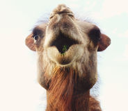 一头骆驼的头反对天空的 免版税库存图片