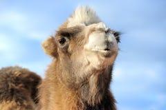 一头骆驼的头在蓝天背景的  免版税库存图片