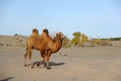 一头骆驼 图库摄影