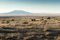 一头骆驼 免版税图库摄影