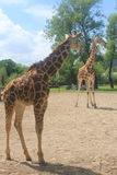 一头高长颈鹿在彻斯特动物园里 库存图片