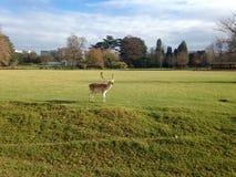 一头鹿在庭院里 库存图片