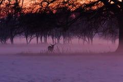 一头鹿在有薄雾的菲尼斯公园 免版税库存照片