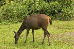 一头鹿在森林里 免版税图库摄影