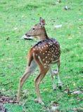 唯一鹿 免版税库存照片