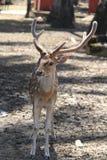 一头鹿的正面图在森林的 库存照片