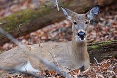 一头鹿的滑稽的图片与一张开放嘴的 库存图片