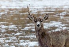 一头鹿角的鹿 免版税库存图片