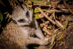 一年轻Meerkat (或海岛猫鼬类suricatta) 免版税库存照片