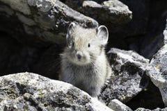 一年轻pika (第一公民的鼠兔属)在岩石中 免版税库存照片