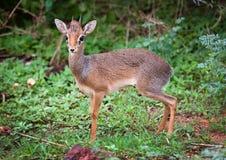 一dik-dik。 湖Manyara国家公园,坦桑尼亚,非洲。 库存图片