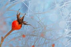 一dogrose的布什在冬天多雪的冷淡的神仙的森林里 免版税库存照片