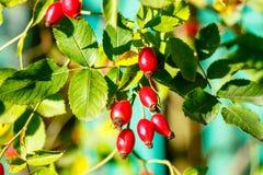 一dogrose的红色莓果在绿色分支的关闭  库存照片