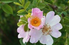 一dogrose的臀部与花的 库存照片