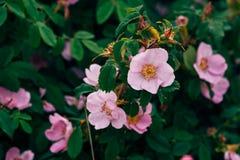 一dogrose的花在灌木的 免版税库存图片