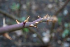 一dogrose的藤背景的 图库摄影