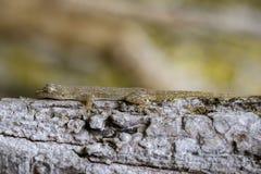 一geckoHemidactylus的图象在树的 爬行动物 免版税库存照片