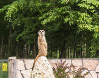 一meerkat的画象在动物园的 免版税库存照片