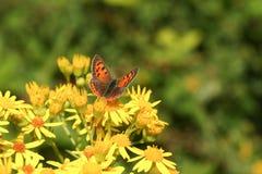 一nectaring在黄色花的小铜蝴蝶Lycaena phlaeas 免版税库存照片