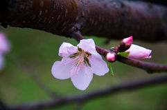 一openning的红色桃子开花 库存照片