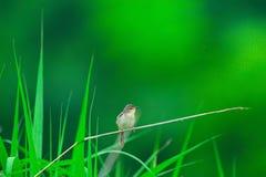 一prinia在沼泽地 库存图片