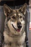 一Saarloos wolfdog的画象在国际性组织的尾随米兰,意大利的陈列 库存图片