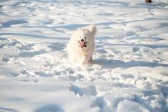 一Samoed狗白色 库存图片