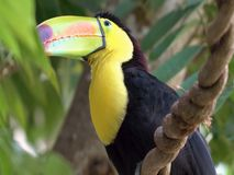 一toucan 2018的画象年 免版税图库摄影