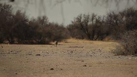 一warthog的观察在纳米比亚的大草原的 影视素材