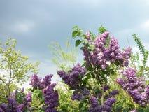 丁香和新鲜的叶子 免版税库存图片