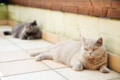 丁香和灰色英国猫 免版税图库摄影