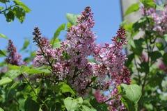 丁香在春天开始开花 她花是淡紫色的 他们是非常小的 库存图片