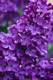 紫丁香属植物丁香在莫斯科 免版税库存照片