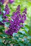 紫丁香属植物 免版税库存图片