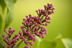紫丁香属植物 免版税图库摄影