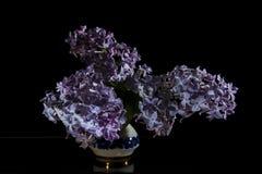 紫丁香属植物 图库摄影