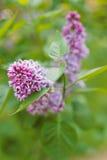 紫丁香属植物 免版税库存照片