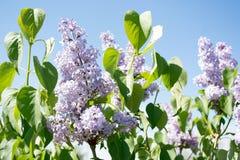 丁香开花春天花卉背景 在spr的淡紫色花 库存照片